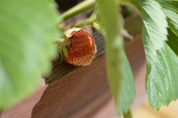 truskawki na tarasie