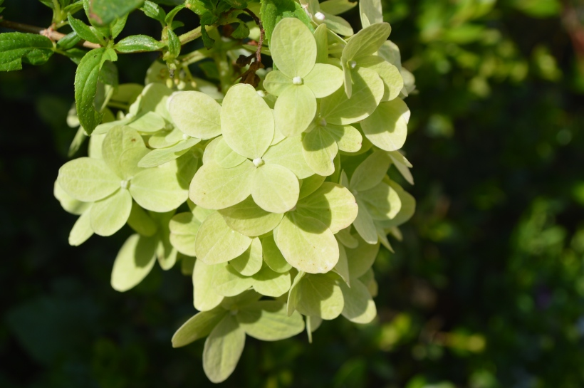 kwitnąca hortensja