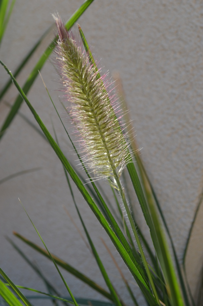 kwitnąca trawa