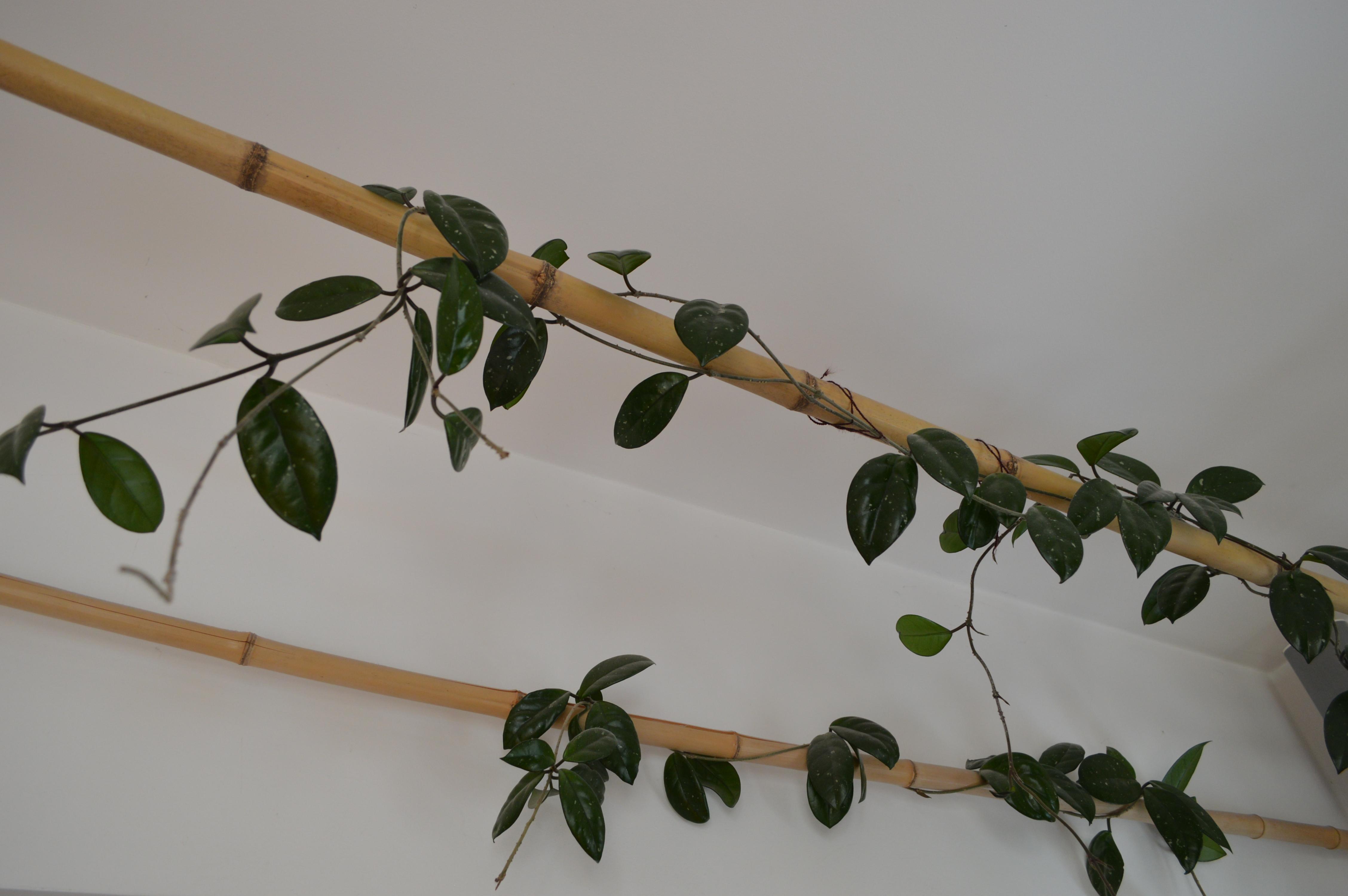 choja na bambusie