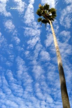 palma na tle nieba